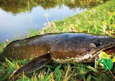 10 Tips Budidaya Ikan Gabus di Kolam Terpal Untuk Pemula