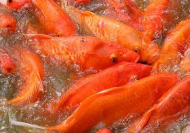 Panduan Budidaya Ikan Mas : Pemula Bisa Untung Besar